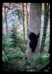 Black Bear climbing an oak tree to get acorns.