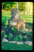 Whitetail fawn eating flowers at a grave site.