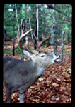 Whitetail buck exhibiting lip curl.