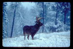 Whitetail buck in falling snow.
