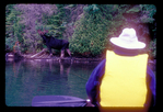 Canoeist watches a feeding bull moose from a canoe.