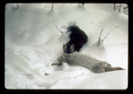 Pine Marten drags a snowshoe hare it just killed during winter.