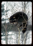 Raccoon out on the limb of aspen tree.