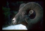 Closeup of a bighorn ram.