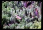 Flying Peregrine Falcon.