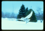Snowy owl swooping down to grab a mouse during winter.