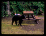 Black bear in a campground by picnic table.
