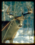 Closeup of whitetail buck with large antlers during winter.