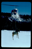 Sedated moose being carried under a helicopter.