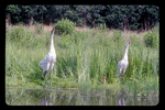 Pair of adult whooping cranes calling, with a chick between them.