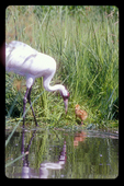Whooping crane parent with chick.