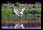 Whooping crane with wings spread as it prepares to run through water.