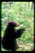 Brown black bear eating berries while seated.