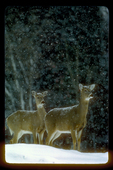 Alert winter whitetails with snow falling.