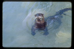 River otter looking at photographer from water.