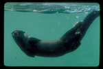 River otter swimming underwater.