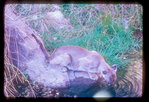 Mountain lion drinking water from creek.