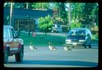Canada geese stop traffic in Grand Marais, MN.