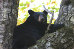 Black bear in the crotch of a large aspen tree.