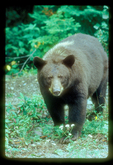 Brown black bear with blonde hairs on back.