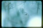 Snowshoe hare in winter woods.