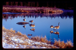 Canada geese reflected in water while sitting on rocks in river.