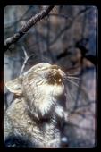 Lynx calling during mating season.