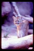 Alert mountain lion.