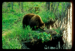 Brown black bear with a beaver along a creek.