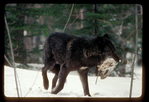Black wolf carries a snowshoe hare in its mouth.