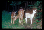 Whitetail doe with albino and normal fawns.