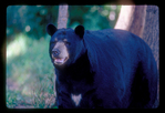 Large male black bear with white on chest.