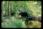 Black Bear crossing creek on a log.