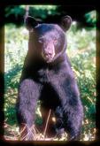 Closeup of alert Black Bear.