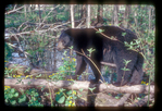 Black Bear walking a log through a wetland.