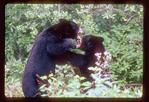 Black Bears Fighting.