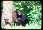 Female black bear with cubs.