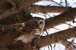 Saw whet owl with mouse.