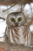 Saw whet owl perched on limb of evergreen tree.