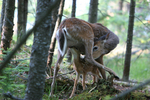 Whitetail doe licks fawn as it nurses.