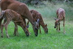 Whitetail doe with triplets grazing.