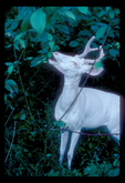 Yearling albino whitetail buck with antlers in velvet eating leaves.