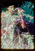 Black bear eating wild cherries.