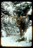 Whitetail buck knocks snow from branch with antler as it emerges from snow covered evergeen trees.