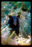 Black bear framed by fall foliage.