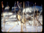 Pair of chickadees feeding on a cattail during winter.