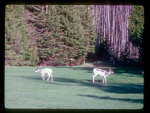 Pair of piebald Whitetails.