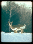Piebald Whitetail on a Snowbank.