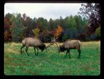 Battling Bull Elk.