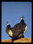 Peahens perched on a rock in South Africa.